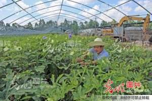 江西大余:秋葵丰收富农家