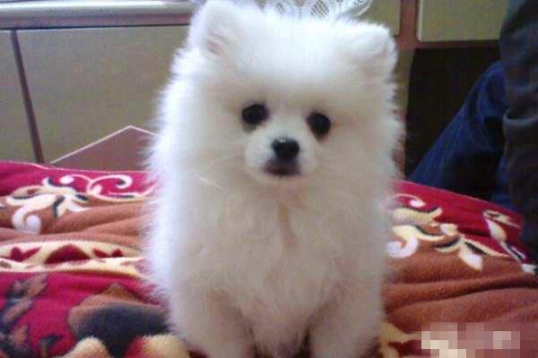 本地犬舍直接供应纯种健康博美幼犬
