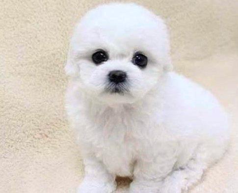 小不点很讨人喜欢的小宠物狗狗 小卷毛水汪汪的比熊犬