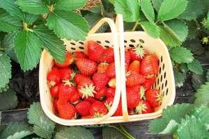 生态草莓现发 自驾采摘