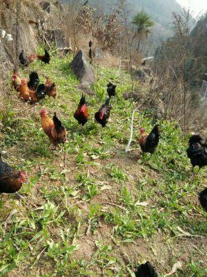 姐妹土鸡养殖场